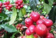 Cà phê Sơn La cấp chứng nhận chỉ dẫn địa lý